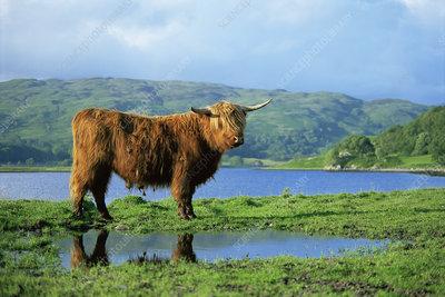 Highland cow next to Loch Oban, Argyll, Scotland, UK