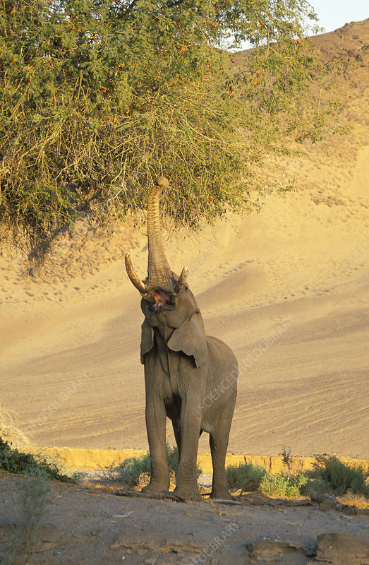 African desert elephant reaching up with trunk to feed