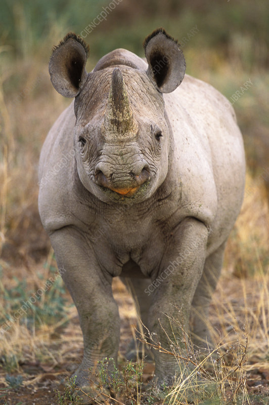 Young Black rhino in riverbed vegetation