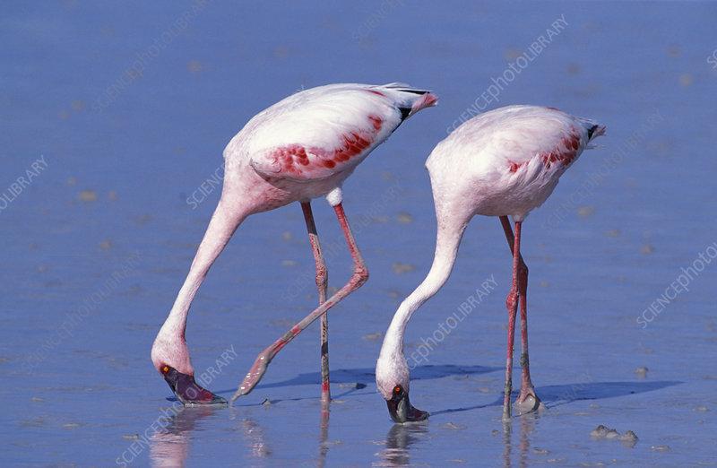 Two Lesser flamingoes feeding, Etosha National Park, Namibia