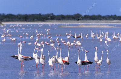 Flock of Greater flamingo, Estosha National Park, Namibia