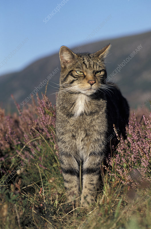 Wild cat male amongst heather