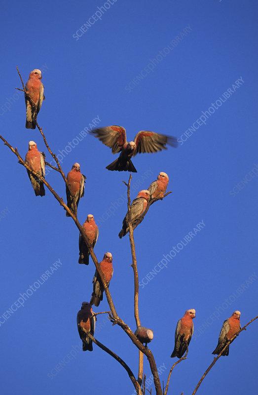 Galah cockatoo flock perched in tree, Western Australia