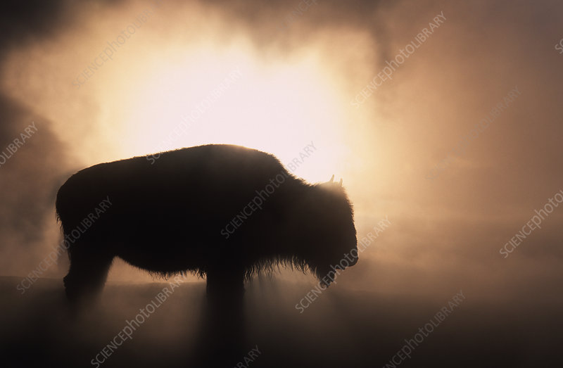 Young Bison getting warmth from steaming geyser