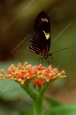 Heliconius butterfly on rainforest flower, Ecuador