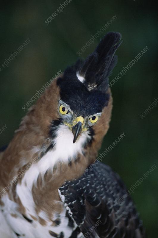 Ornate hawk eagle, Argentina