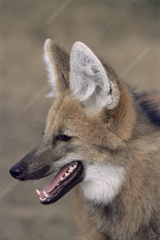 Maned wolf, Argentina