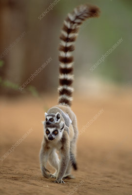 Ring tailed lemur carrying young, Madagascar