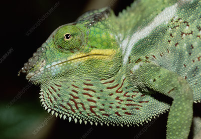 Male Panther chameleon, threat display, Madagascar