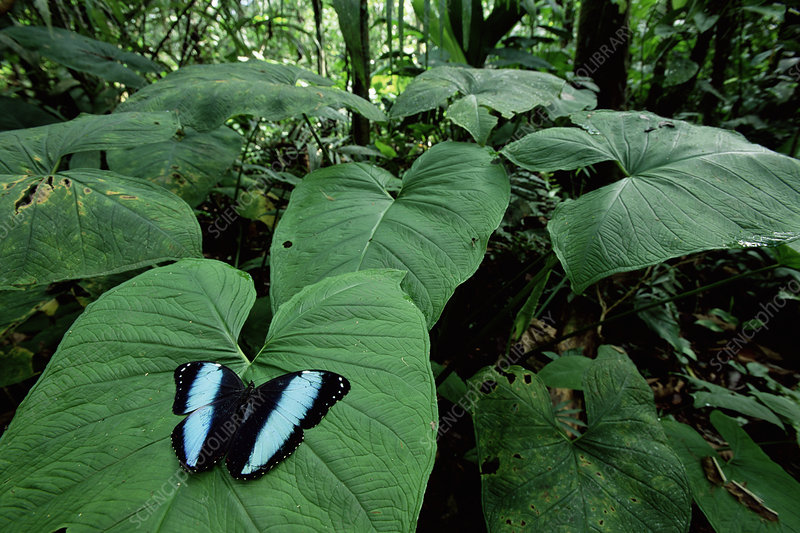 Morpho butterfly displaying on leaf, Amazonia, Ecuador