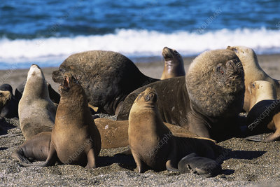 Patagonian sealion male, females and pups