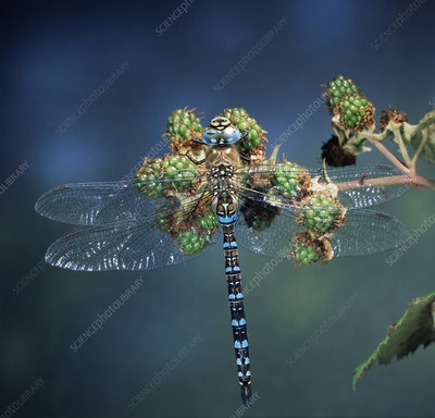 Common hawker dragonfly on berries