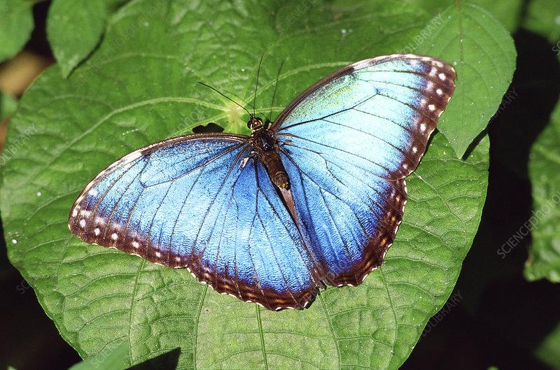 Blue morpho butterfly on leaf, Costa Rica