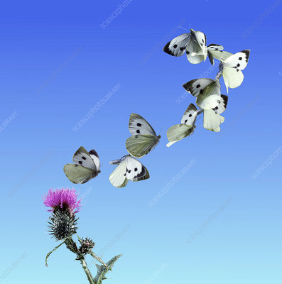 Cabbage white butterfly taking off from thistle