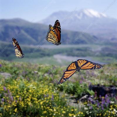 Monarch butterflies migrating
