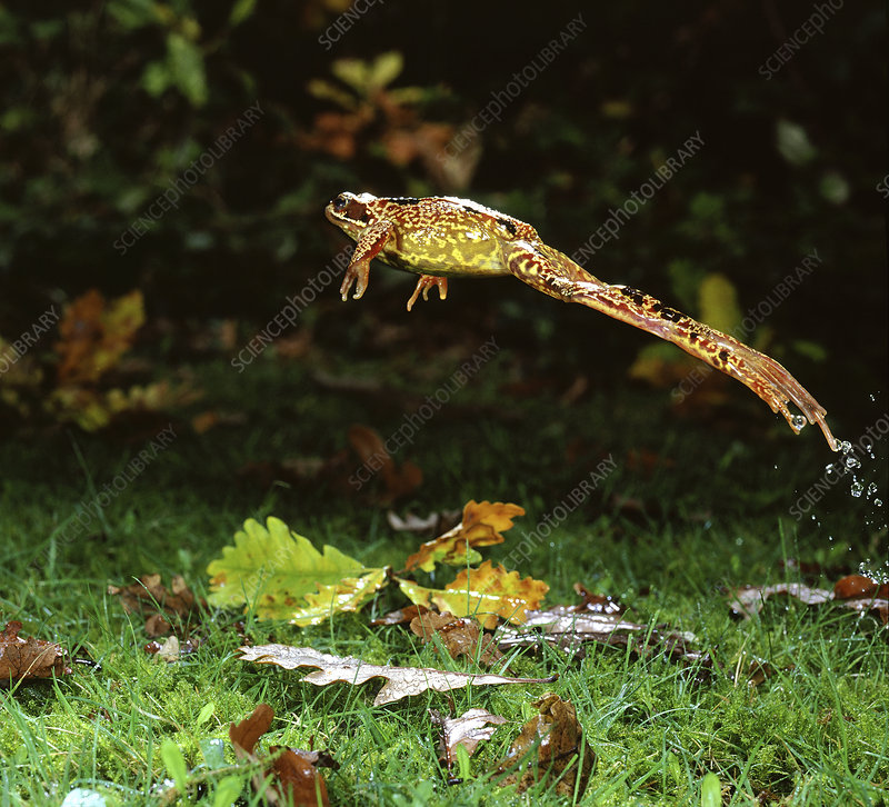 Common Frog female leaping, UK
