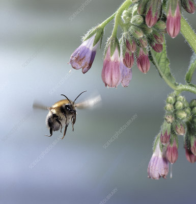 Common carder bee approaching comfrey flower
