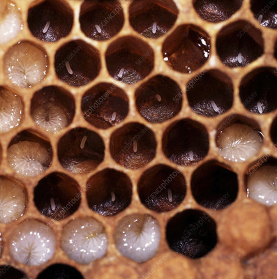 Honey Bee cells with eggs and larvae, Surrey UK