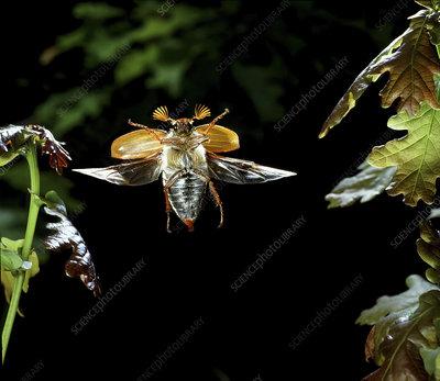 Cockchafer Beetle male in flight, Surrey, UK