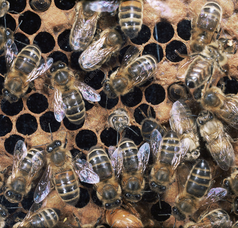 Honey bee new worker emerging from pupal cell