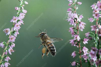 Honey bee worker in flight with full pollen sacs