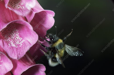 Bumble bee falling out of foxglove