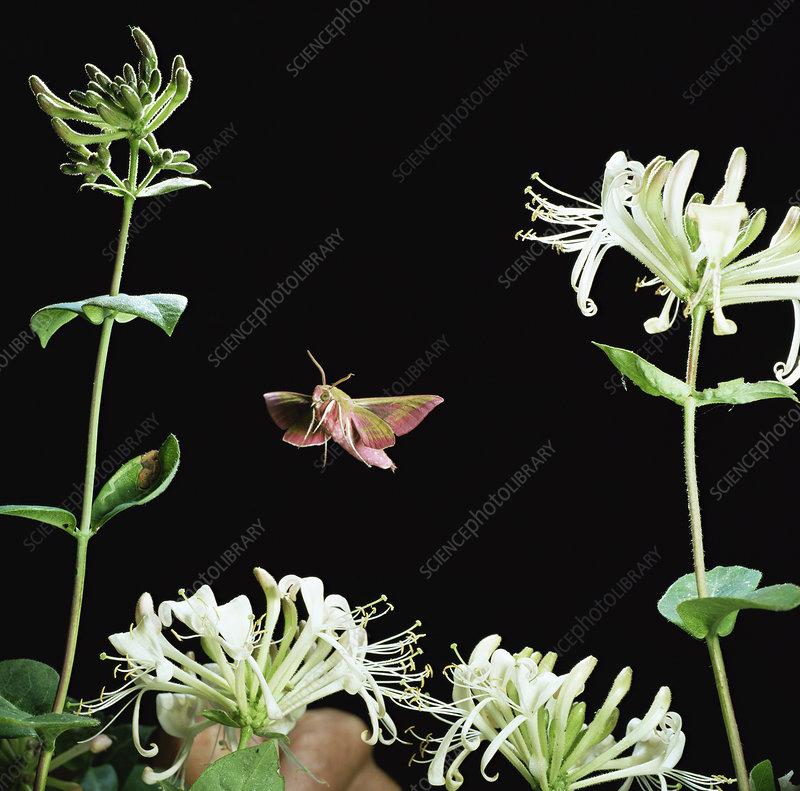 Elephant hawk moth flies to Honeysuckle