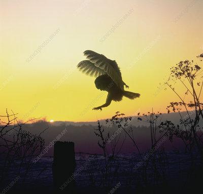Barn owl landing on fence post at dawn