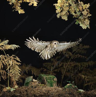 Tawny owl taking off