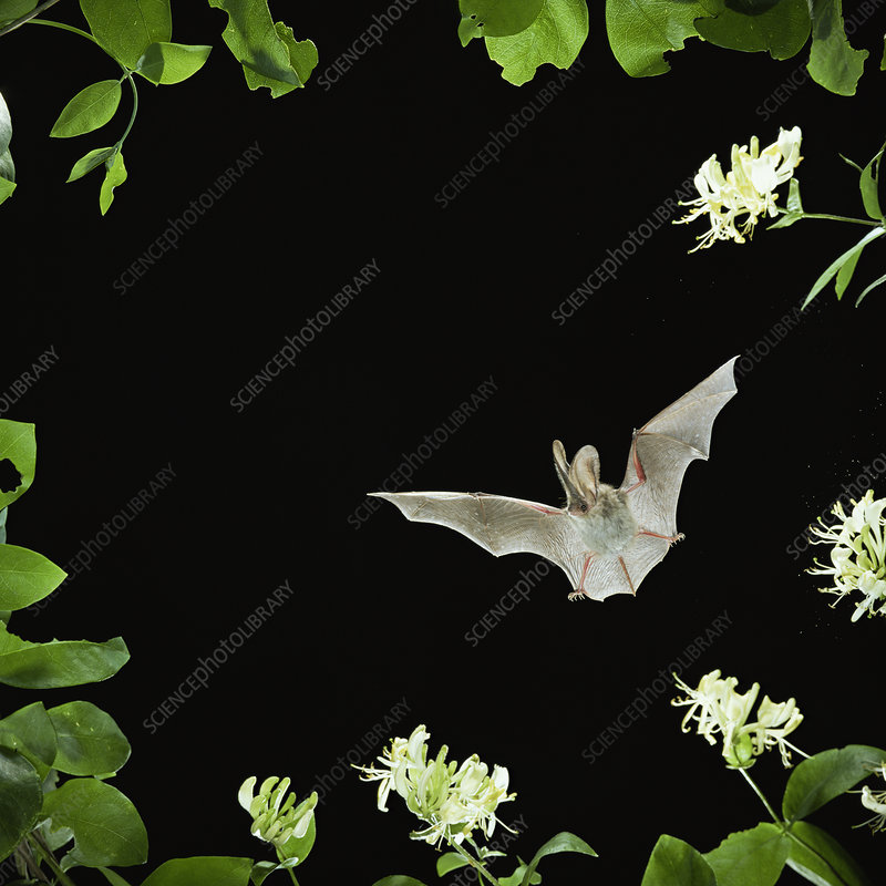 Long eared bat flying by Honeysuckle flowers