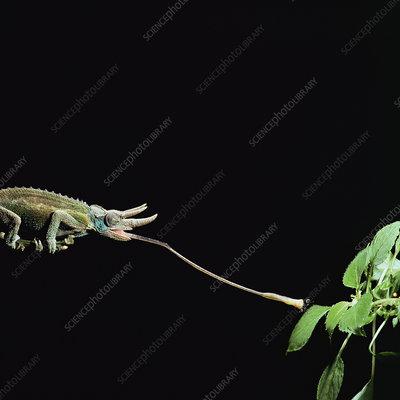Jacksons 3-horned chameleon catching fly