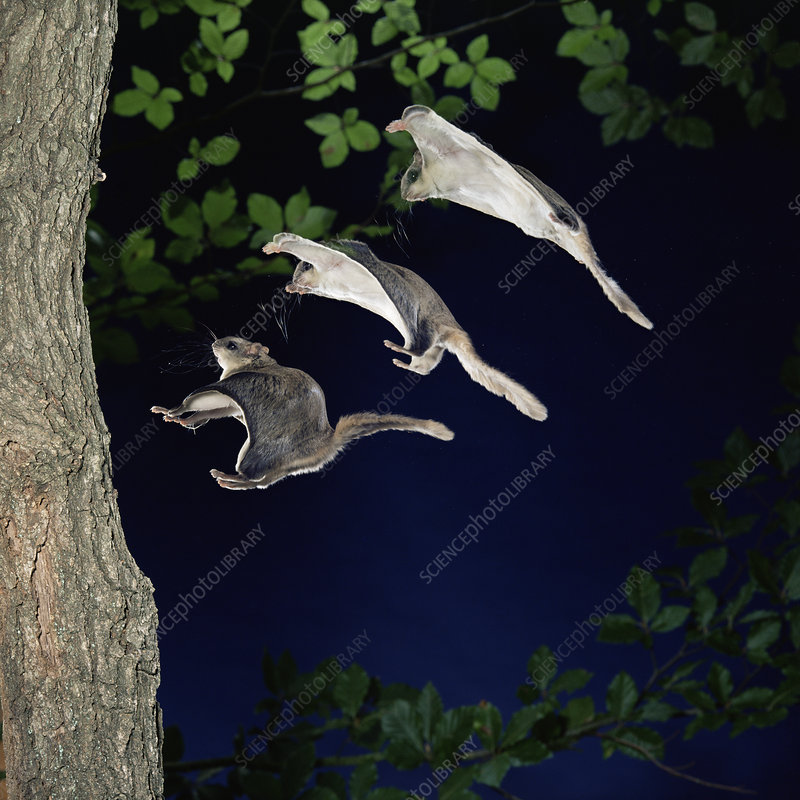 Southern flying squirrel landing on tree
