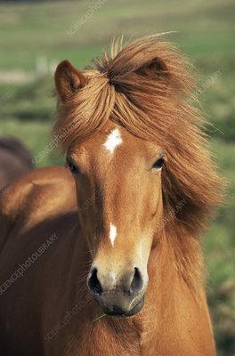 Icelandic pony, Iceland