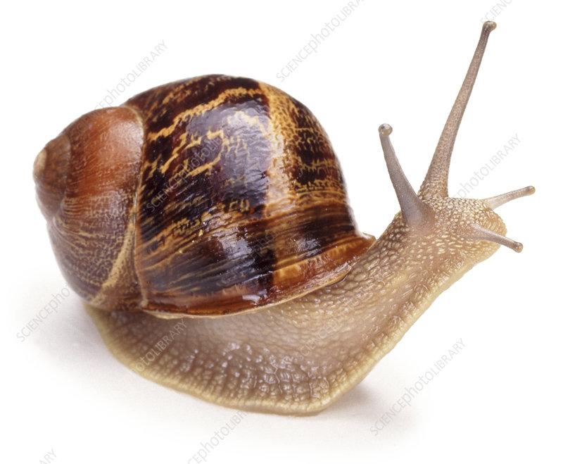 Common, Garden snail, captive, UK