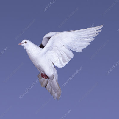 White Rock dove, Feral pigeon in flight, UK