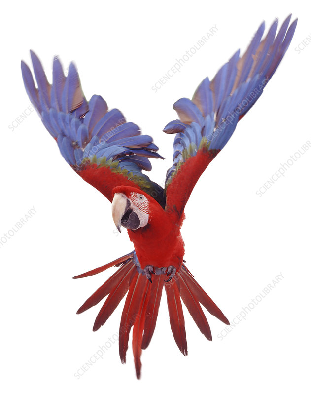 Green winged macaw in flight