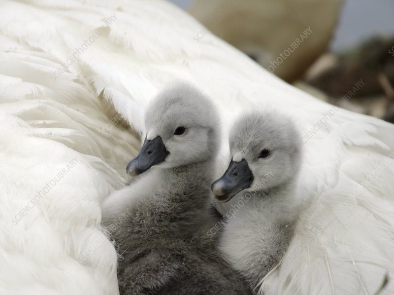 Mute swan day old cygnets