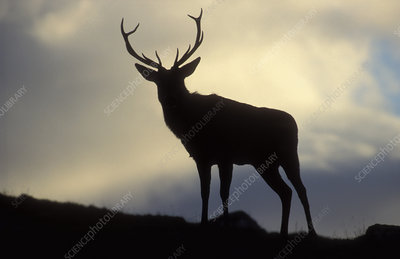 Red deer stag silhouetted at dusk