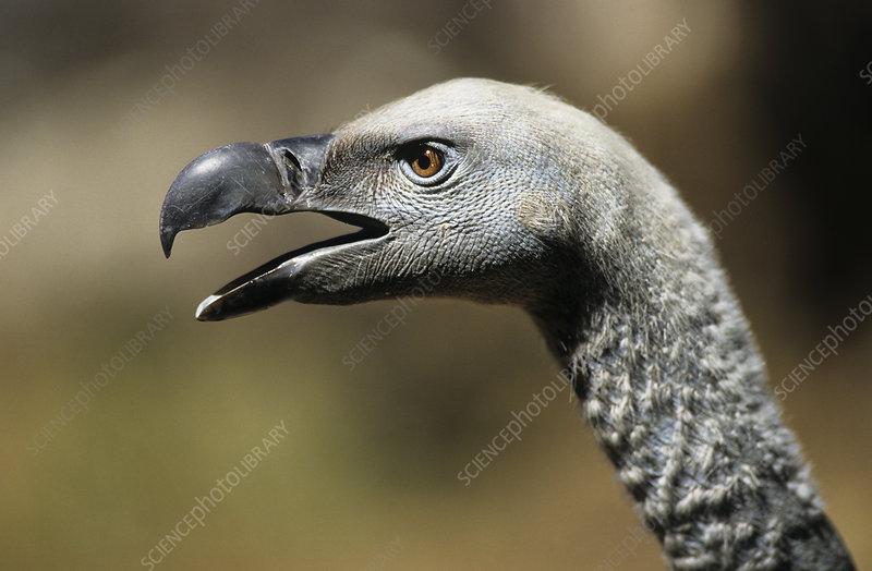 Cape vulture head profile with open beak