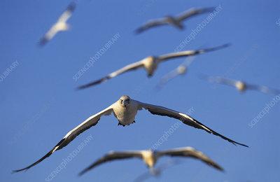 Cape gannets in flight, Lamberts bay, South Africa