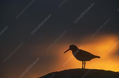 Silhouette of Oystercatcher on rock at sunset, Scotland, UK