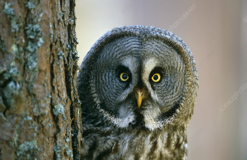 Portrait of Great grey owl behind Scots pine tree