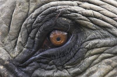 Close up of Indian Elephant Eye