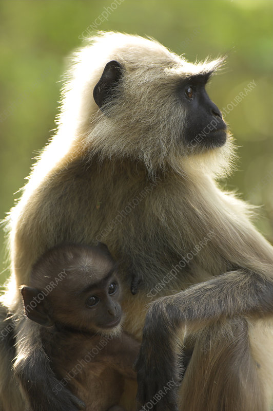 Hanuman langur female with infant