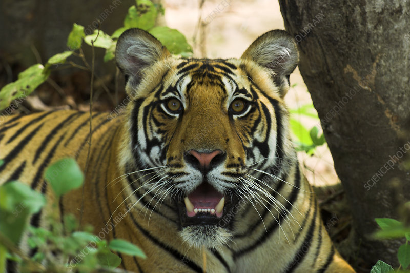 Male Bengal Tiger face in undergrowth