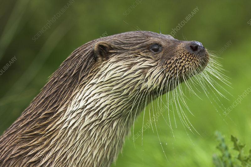 Eurasian Otter head profile