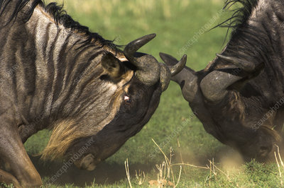 Male Eastern white bearded wildebeest sparring head to head