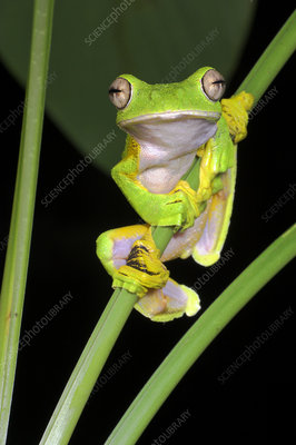 Wallace's flying, gliding frog perching on understorey