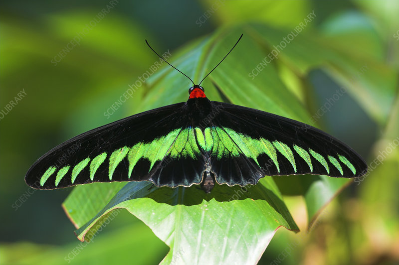Adult male Rajah Brooke's Birdwing butterfly basking in pool
