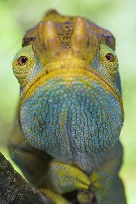 Portrait of male Parson's Chameleon
